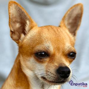 Chihuahua Özellikleri